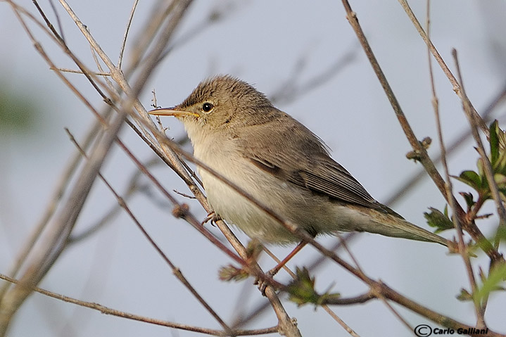 Canapino pallido-Eastern Olivaceous Warbler