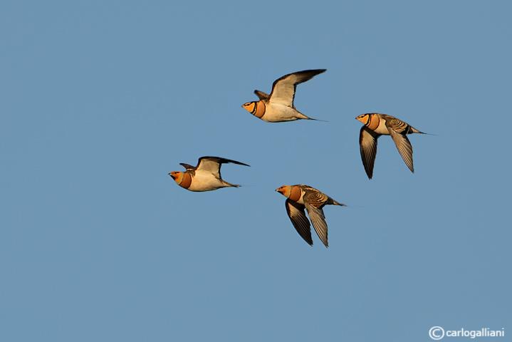 Grandule-Pin-tailed Sandgrouse (Pterocles alchata)