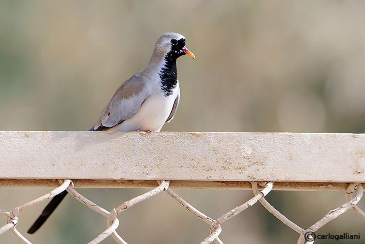 Tortora mascherata-Namaqua Dove (Oena capensis