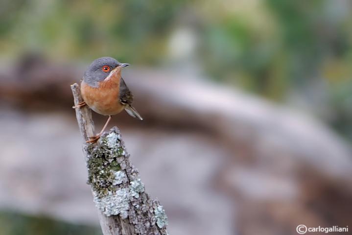 Sterpazzolina-Subalpine Warbler (Sylvia cantillans)