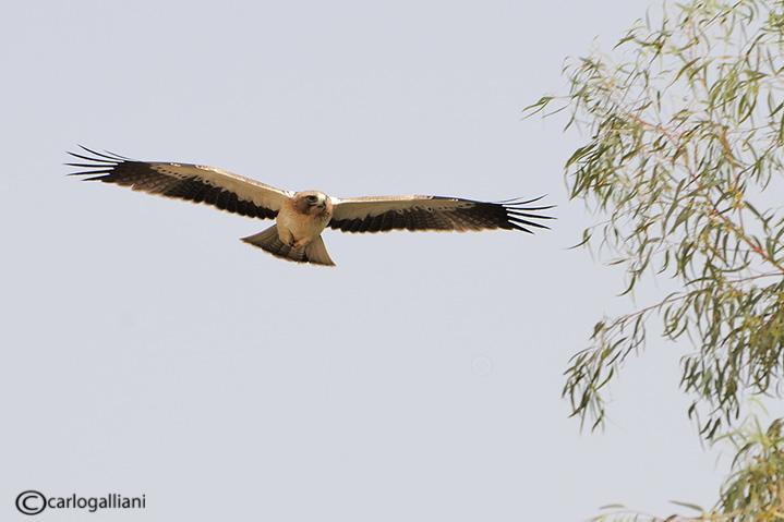 Aquila minore (Aquila pennata)