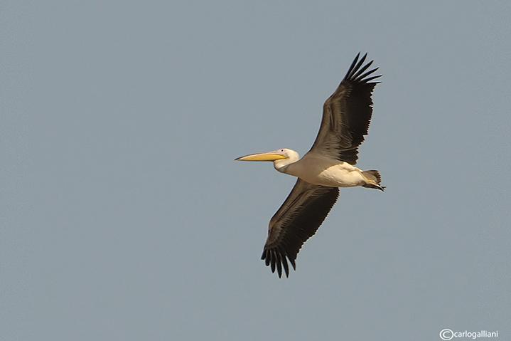 Pellicano bianco- Great White Pelican (Pelecanus onocrotalus)