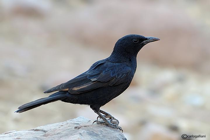 Storno di Tristram-Tristrams Starling  (Onychognathus tristramii)