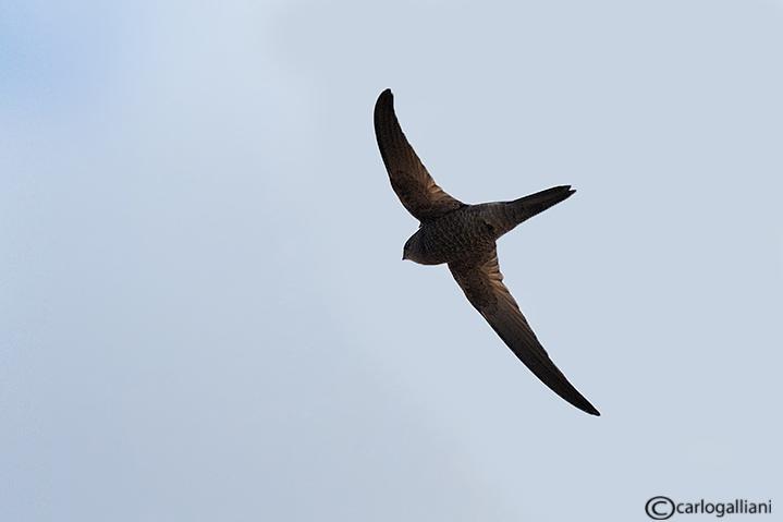 Rondone pallido-Pallid Swift (Apus pallidus)