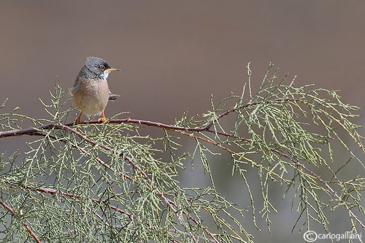 Sterpazzola di Sardegna-Spectacled Warbler (Sylvia conspicillata)