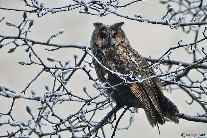 Gufo comune-Long-eared Owl  (Asio otus)