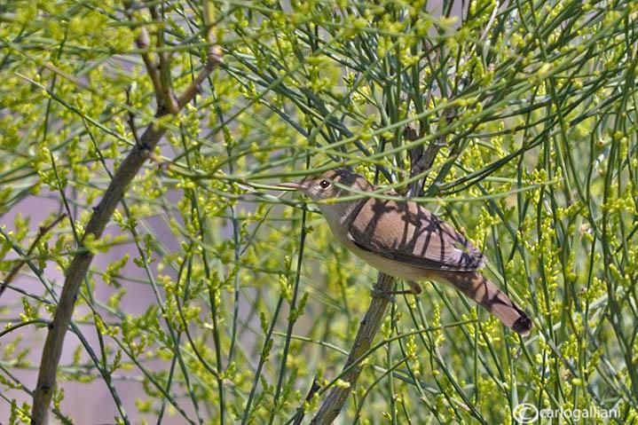 Salciaiola-Savis Warbler (Locustella luscinioides)
