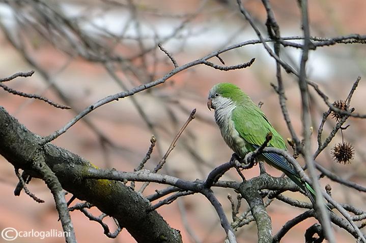 Parrocchetto monaco-Monk Parakeet (Myiopsitta monacus)