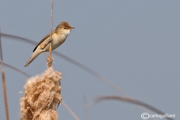 Cannaiola-Reed Warbler (Acrocephalus scirpaceus)