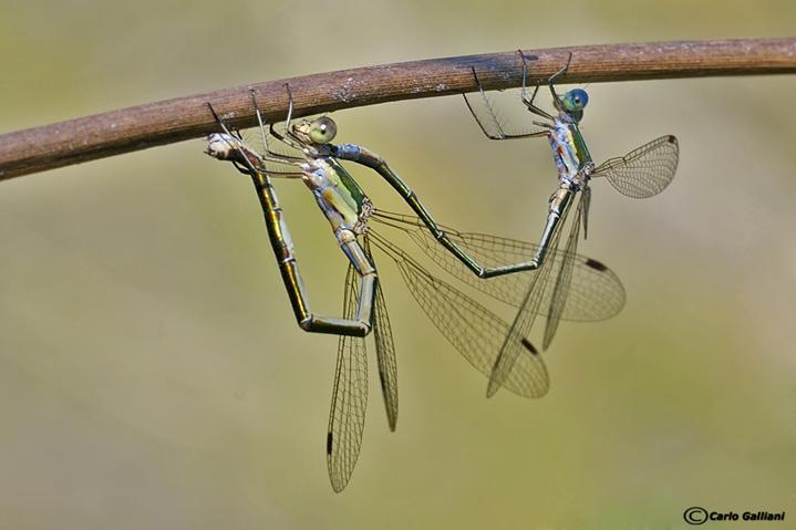 Lestes virens mating