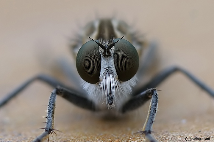 Asilidae sp