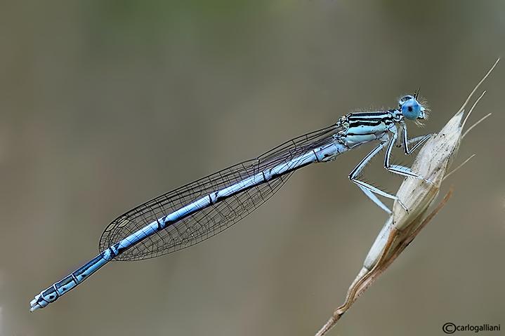 Platycnemis pennipes male