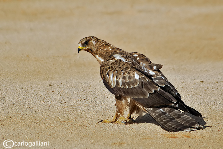 Falco pecchiaiolo -Honey Buzzard (Pernis apivorus)