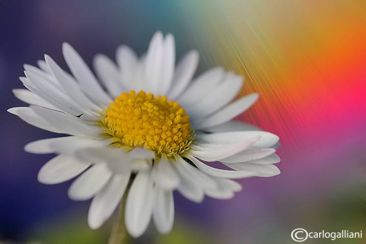 Abstract marguerite