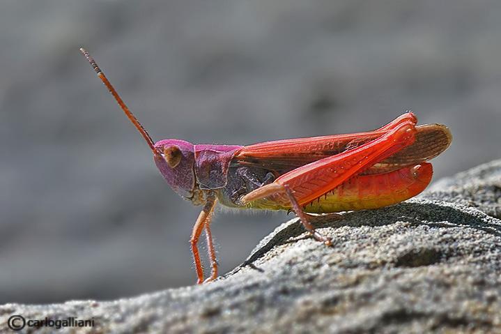 Glyptobothrus sp.
