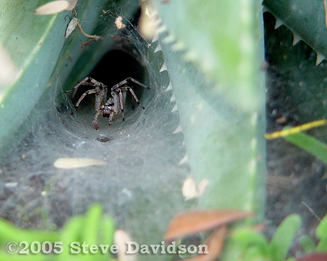 Funnel-Web Spider (DSC01869w.jpg)