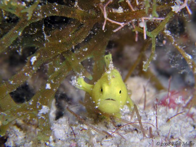 Tiny Baby Frogfish