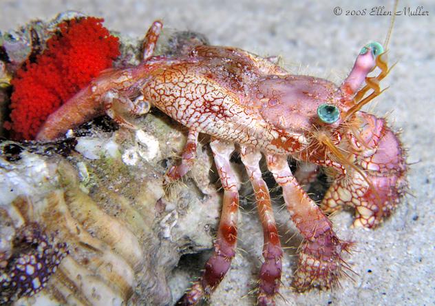 Stareye Hermit Crab With Eggs
