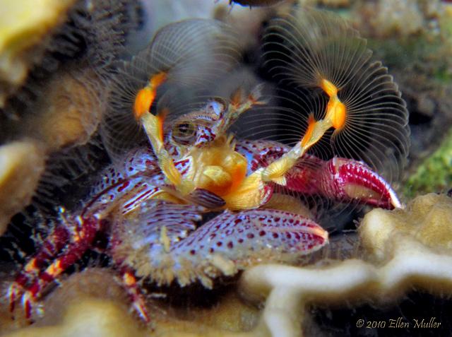 Porcelain Crab Filter Feeding