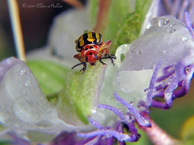 Disonycha Beetle