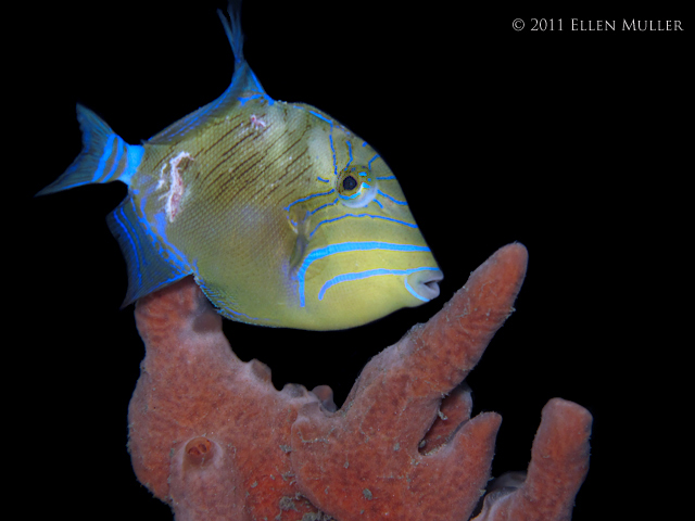 Juv Queen Triggerfish