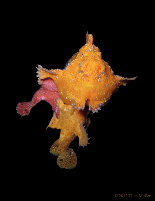 3 Frogfish Spawning