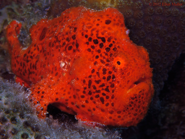 Spotty Frogfish