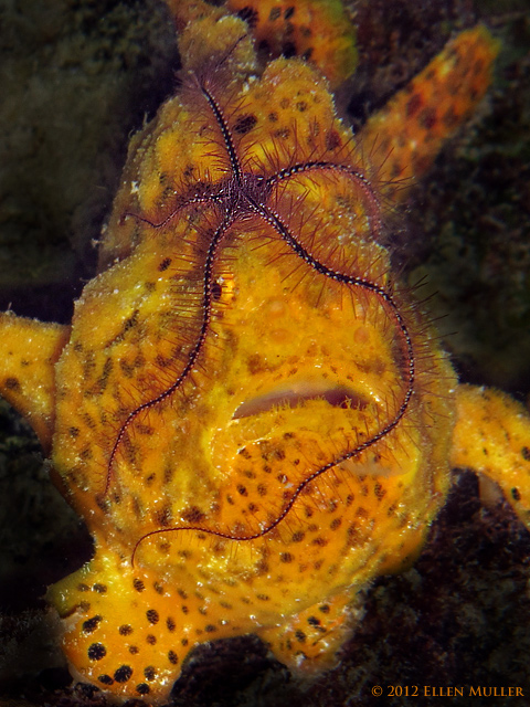 Pesky Brittle Star