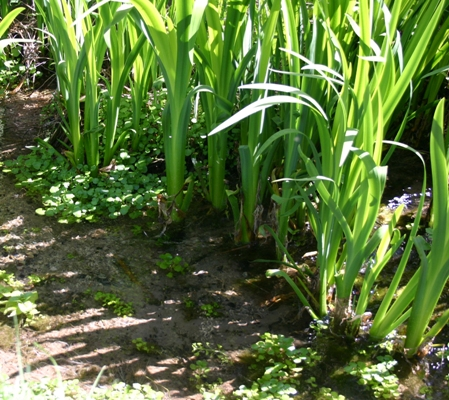 Irises Tracing Shadows over Watercress