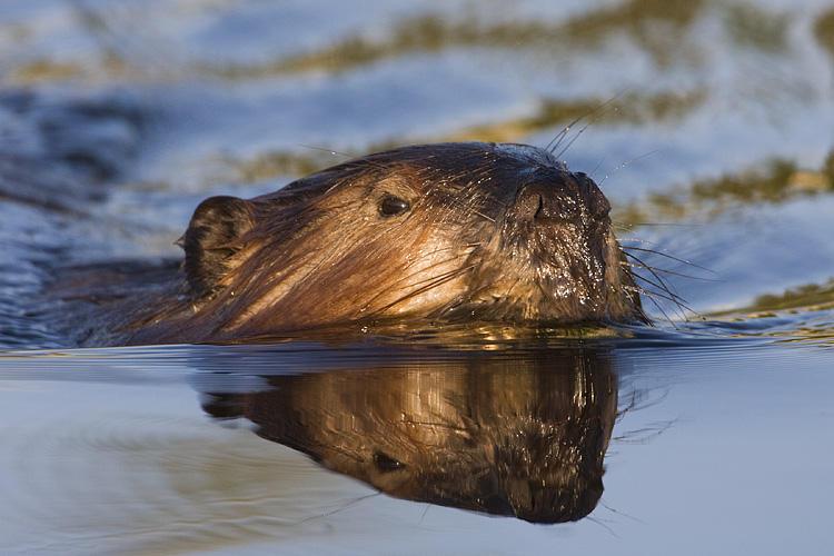 beaver 060308IMG_0382