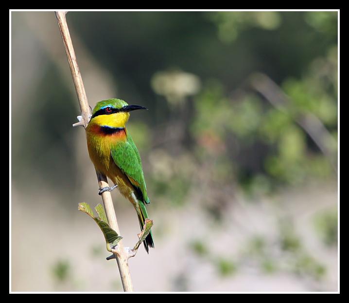 Little Bee-eater, Lebala