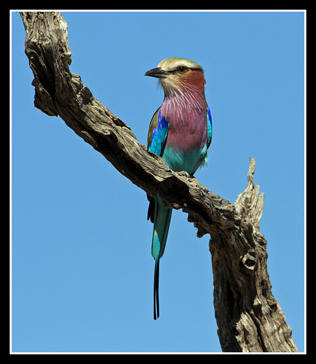 Lilac Breasted Roller, Lebala