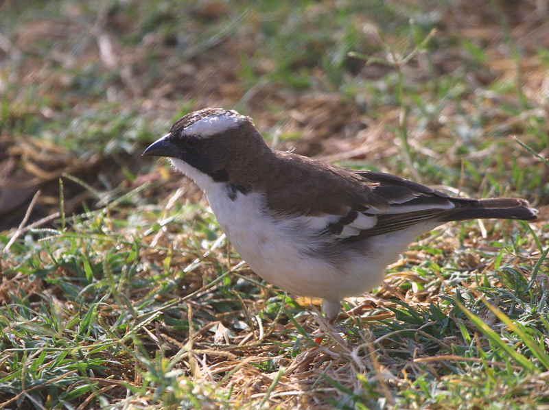 White-browed Sparrow Weaver, Wondo Genet