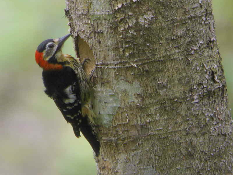Crimson-brested Woodpecker (male), Mo Chhu valley, Bhutan