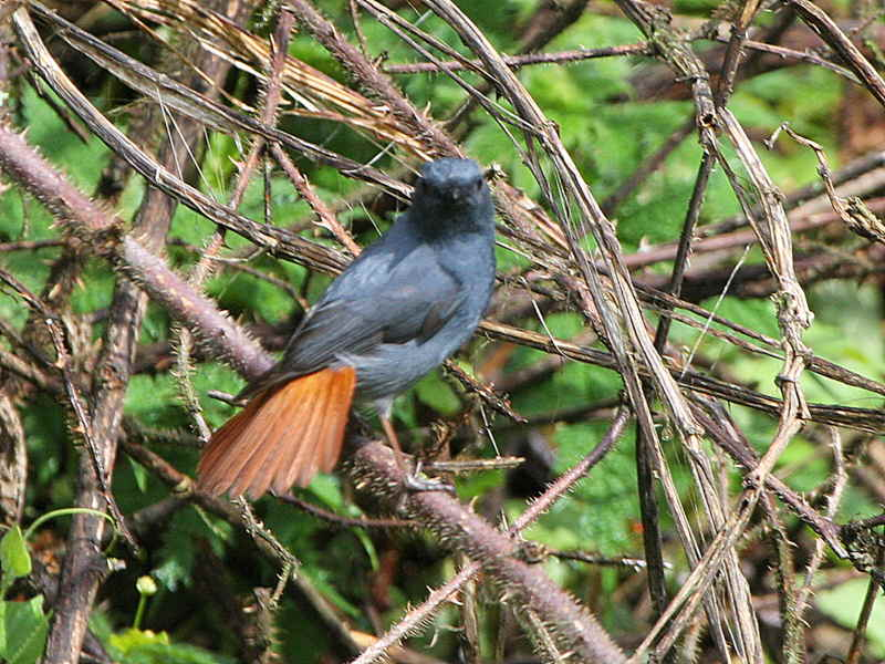 Plumbeous Water Redstart, Jigme Dorji National Park, Bhutan