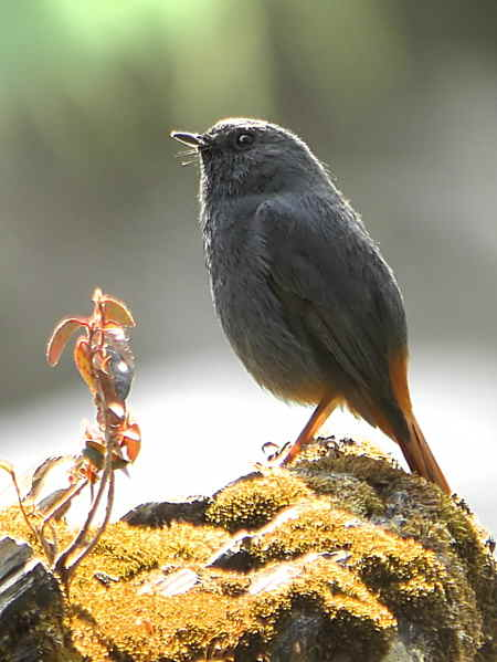 Plumbeous Water Redstart, Cheri valley, Bhutan