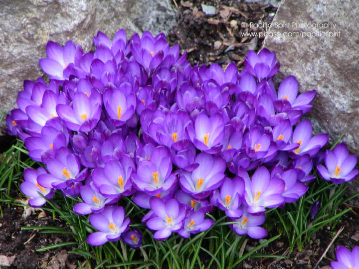 Glowing crocuses