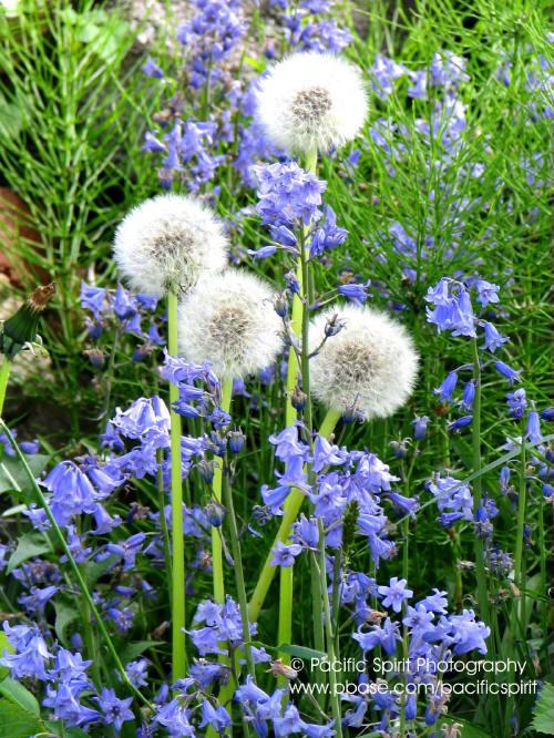 Dandelions in May