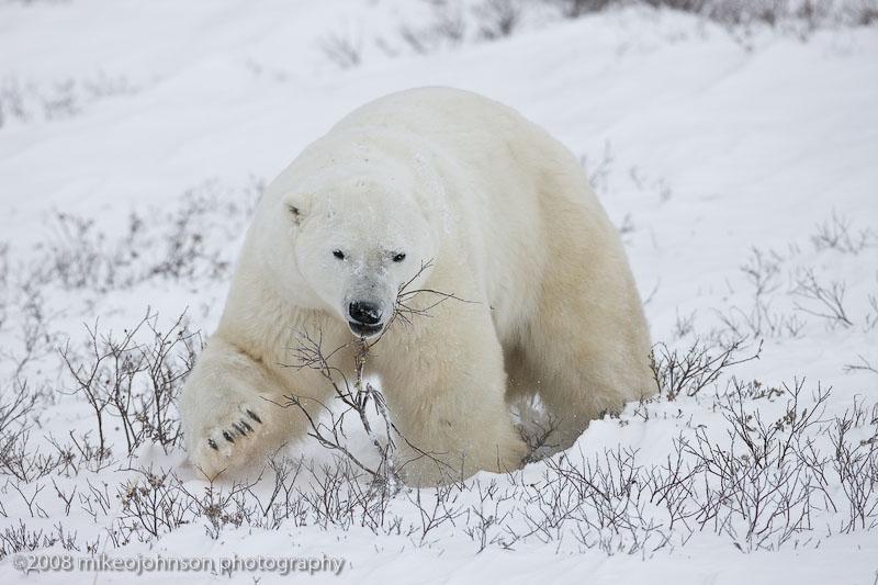 1010Polar Bear Plays with Willow Twigs.jpg