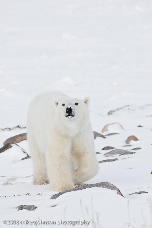1035Polar Bear Walking This Way.jpg