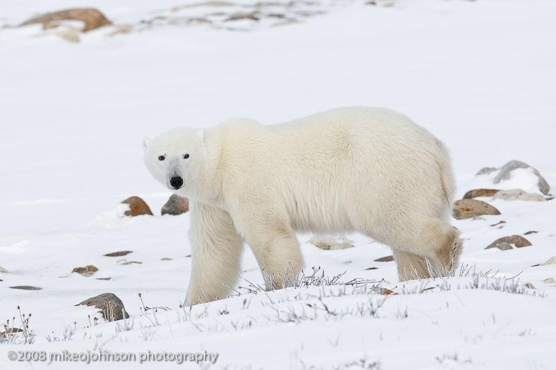 1046Polar Bear Walking By.jpg