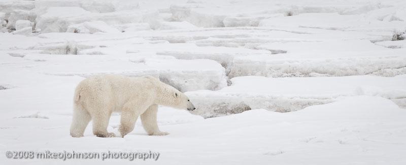 1063Polar Bear On Ice.jpg