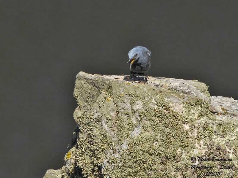 Blue Rock Thrush - Male