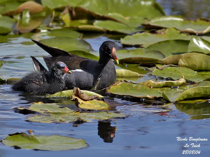 COMMON-MOORHEN and chick