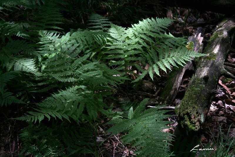 forest fern 6297