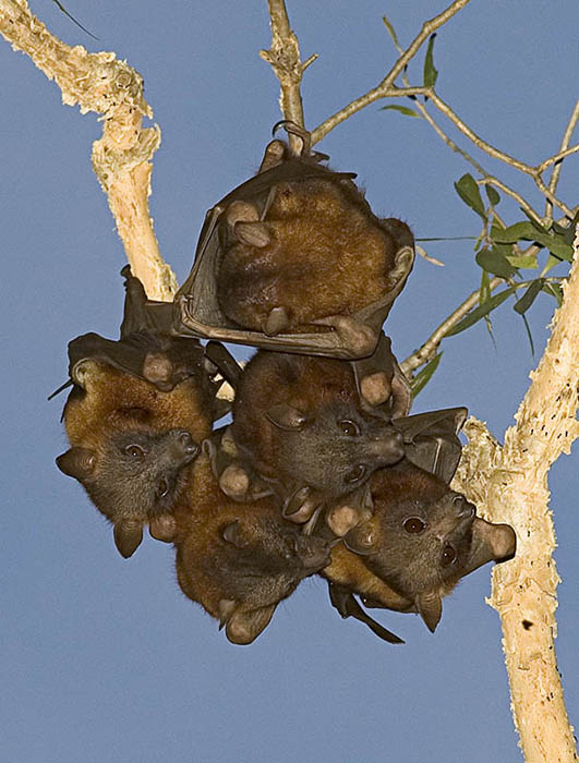 Baubles - little red flying fox