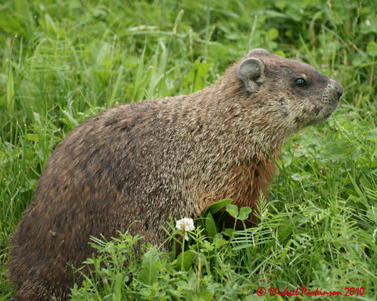 Ground Hog 04784 copy.jpg