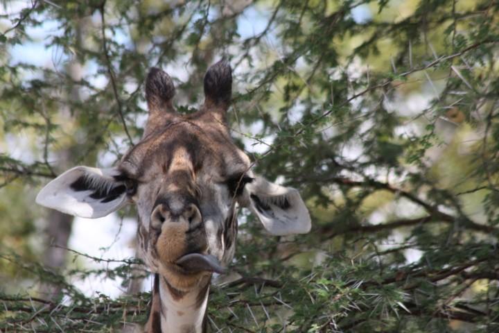 Thornicrofts Giraffe