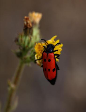 Haar-Langbeinkäfer (Lachnaia sexpunctata)
