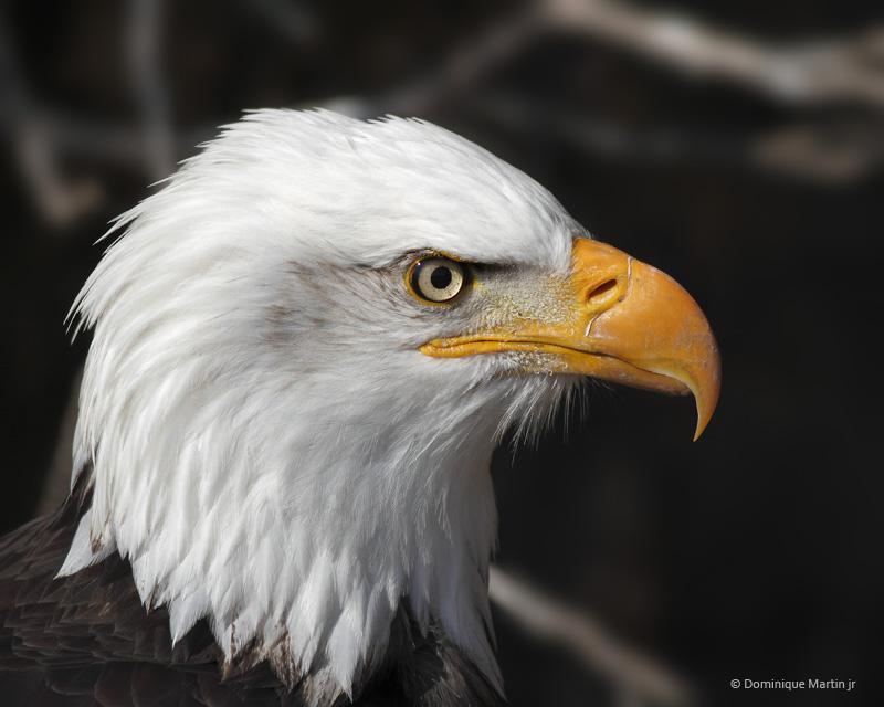 Pygargue à tête blanche / Bald Eagle 548